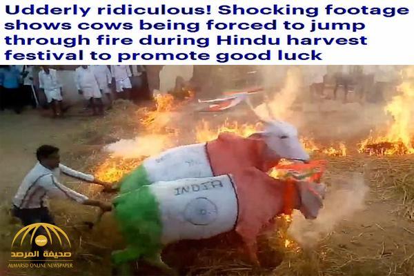 شاهد .. فيديو صادم لهنود يجبرون أبقاراً على عبور النيران للحصول على البركة !
