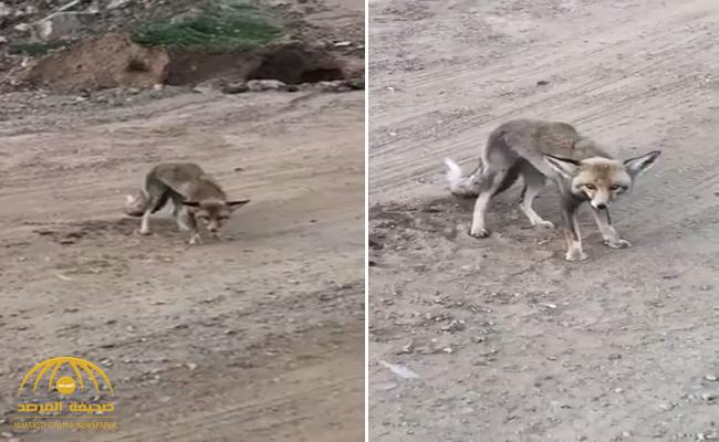 """بالفيديو : مواطن يتعجب من """"ثعلب"""" وقف في مكانه ولم يهرب !"""