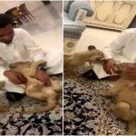 """بالفيديو: رئيس الهلال """"محمد بن فيصل"""" داخل منزله  يداعب  """" أسد رضيع"""" :""""هلا والله بجوميز"""" !"""
