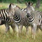 """بخلاف كل الحيوانات …دراسة جديدة تكشف  """"سر"""" خطوط الحمار الوحشي"""