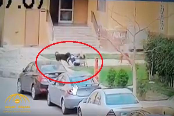 مصر: شاهد فيديو مروع لكلبين حراسة يهاجمان طفلًا وينهشان جسده!