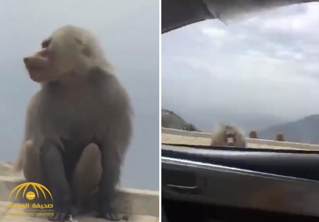 شتمه واستفزه بحركات.. شاهد: قرد يهجم على شاب داخل سيارته في الطائف!