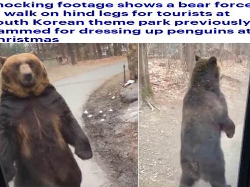 شاهد: دب يسير مثل البشر يذهل سائحين في كوريا الجنوبية – فيديو