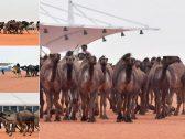 """بالأسماء .. تتويج الفائزين بالمراكز الأولى في """"30 صفر"""" بمهرجان الملك عبدالعزيز للإبل"""