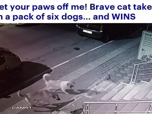 """شاهد : قطة """"مسعورة""""  تشن هجومًا شرسًا على مجموعة من الكلاب !"""