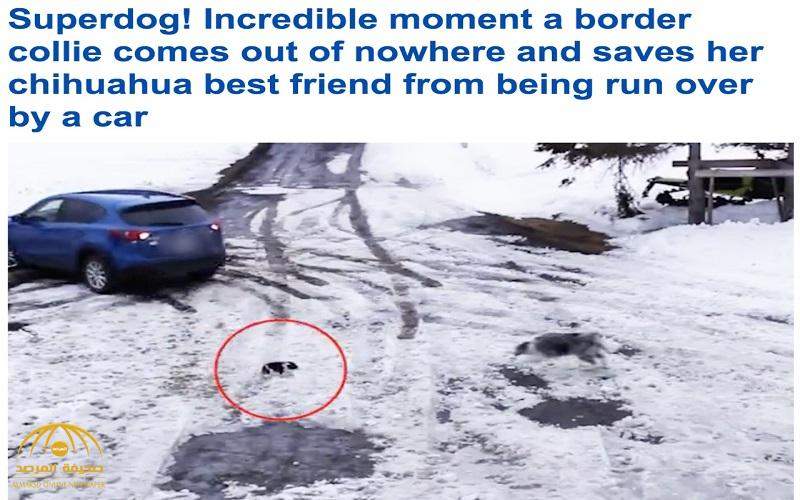 لحظة لا تصدق .. شاهد : ردة فعل كلب تجاه كلب صغير  قبل دهسه بلحظات