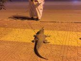 """مفاجأة صادمة لأهالي """"حوطة بني تميم"""" .. شاهد: تمساح يتجوّل في الشارع !"""
