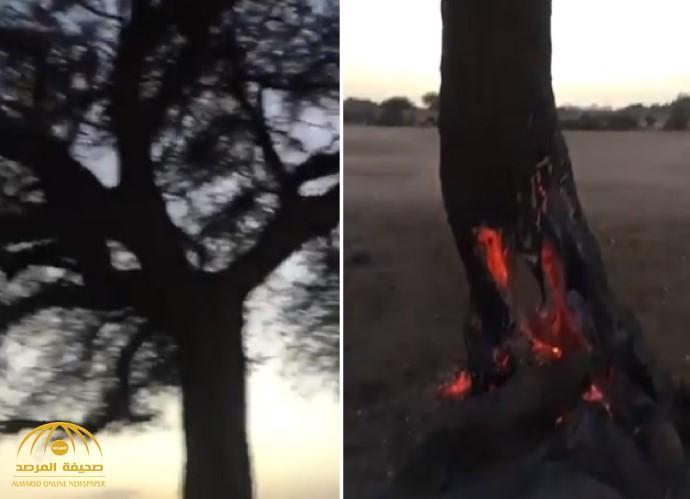 """شاهد:  حريق مجهول في شجرة معمرة بـ""""شعيب أم سلم"""" بالقويعية.. وتدخل عاجل من """" الدفاع المدني"""""""