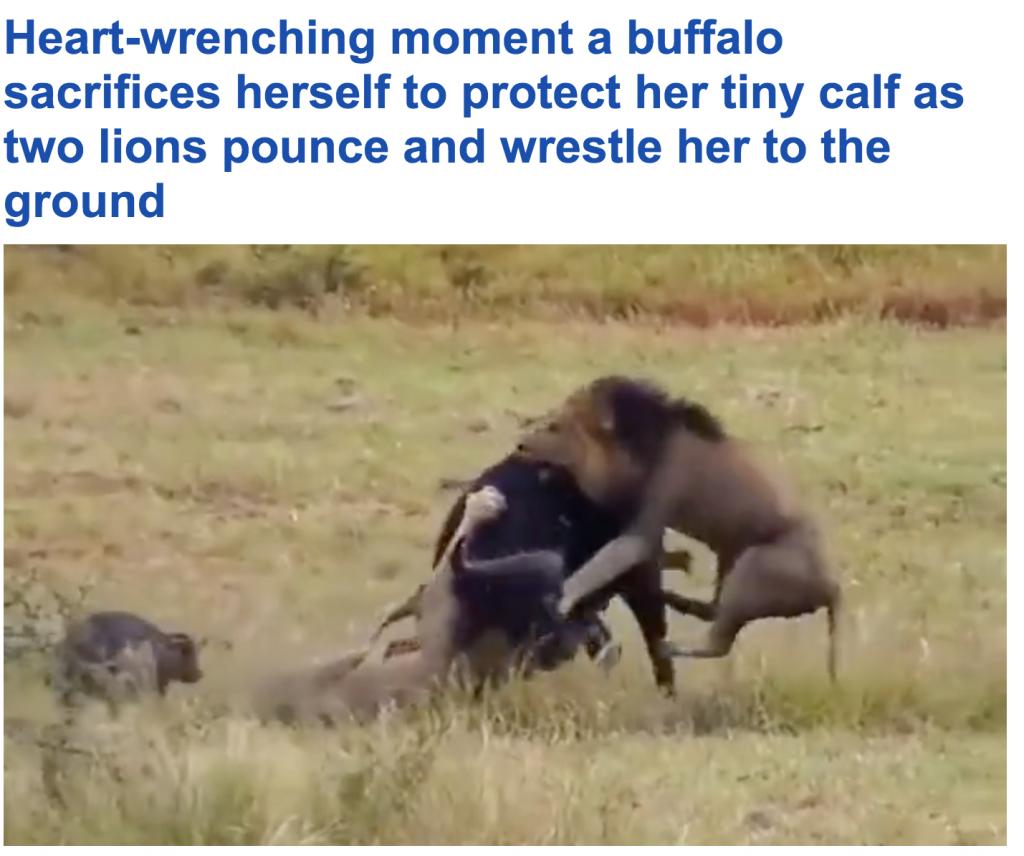 شاهد : جاموسة تضحي بنفسها أمام الأسود من أجل صغيرها في محمية بتنزانيا!