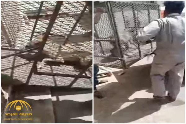 شاهد : ذئب يفاجئ عامل داخل محل قطع غيار للسيارات في تبوك