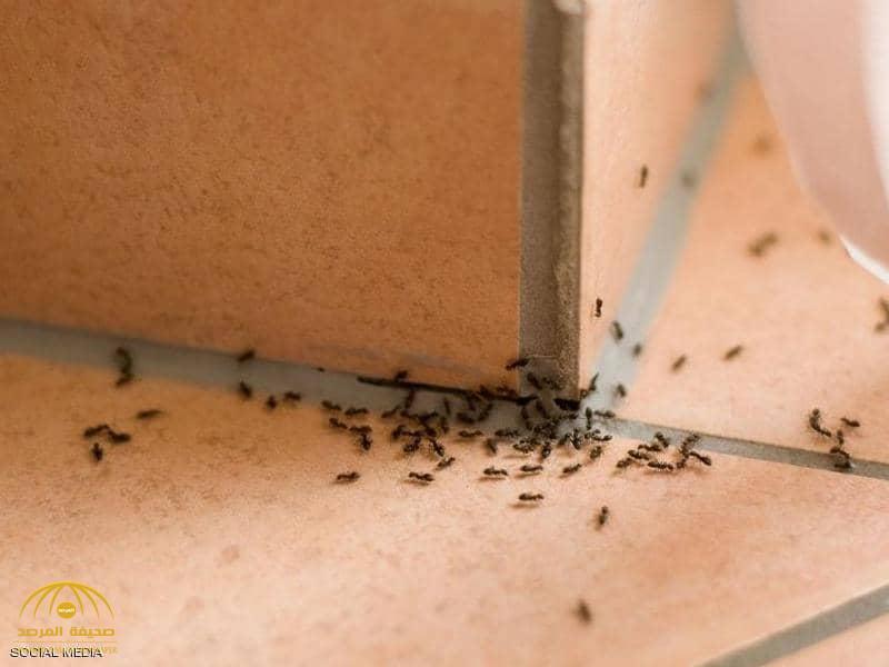 """مبيد الحشرات ليس حلًا فعالًا.. حيلة ماكرة للتخلص من """"النمل"""" في أرجاء المنزل"""