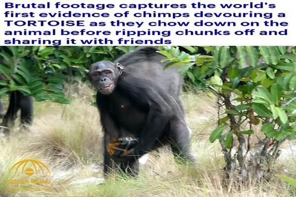 شاهد لأول مرة : رصد قرود الشمبانزي أثناء افتراسها سلحفاة حية في الجابون .. والدهشة تنتاب الباحثين!