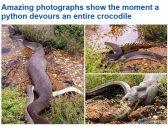 بالصور.. أفعى تبتلع تمساحًا ضخماً بطريقة مذهلة!