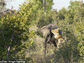 شاهد: فيل يصارع لبؤة للنجاة بحياته في زيمبابوي – فيديو