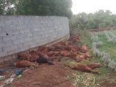 شاهد: مجزرة بحق 30 رأسًا من الأغنام في محايل.. والكشف عن الفاعل