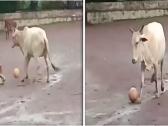 بقرة تستعرض مهاراتها في لعب كرة القدم… شاهد: كيف سددت ركلات قوية!