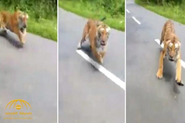 لحظات مرعبة.. شاهد: نمر يطارد رجلين على دراجة نارية في الهند!