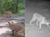 الفهود تسقط على الأرض وهي تمشي.. شاهد: مرض غامض يهدد الحيوانات في أمريكا ويحيّر العلماء