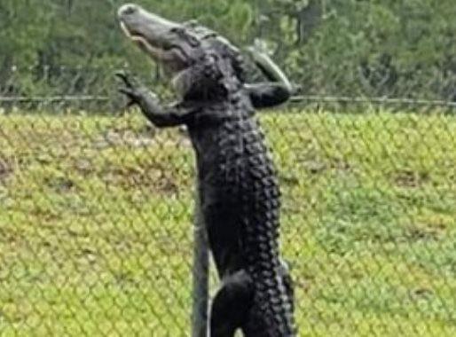 شاهد .. مقطع لا يصدق لتمساح يقفز من أعلى سياج حديدي بطريقة مذهلة!