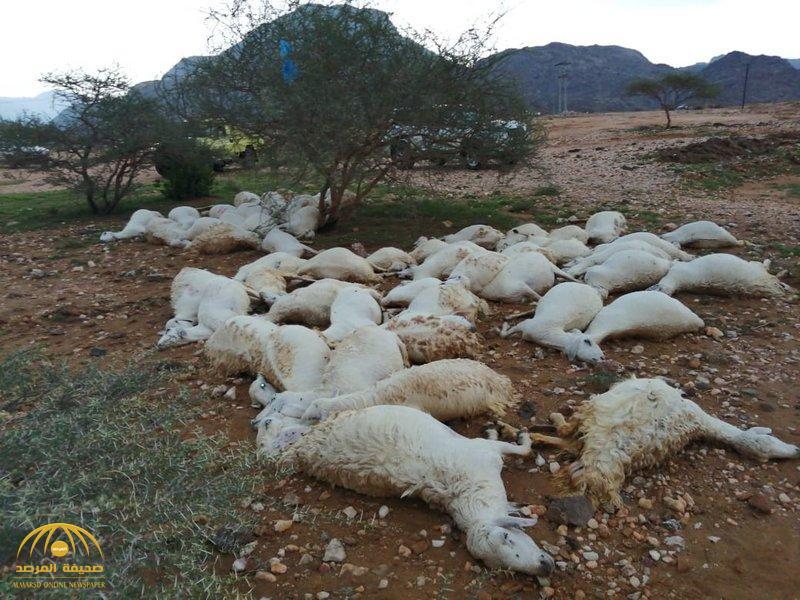 مجزرة بحق 61 رأسًا من الضأن في بارق.. والكشف عن السبب  (صورة)