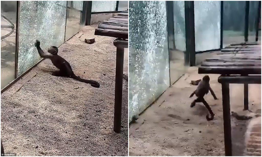 شاهد : قرد يحمل حجراً ويهشم زجاج القفص المحبوس بداخله في حديقة حيوان بالصين!