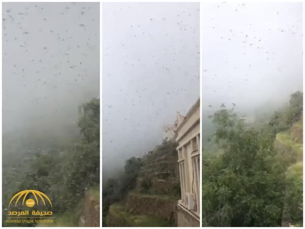 شاهد: غزو ضخم من الجراد لجبال فيفاء