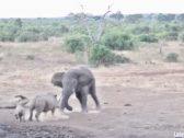 بالفيديو.. وحيد قرن حاول إظهار شجاعته أمام فيل ضخم بجنوب أفريقيا.. شاهد ماذا حدث له