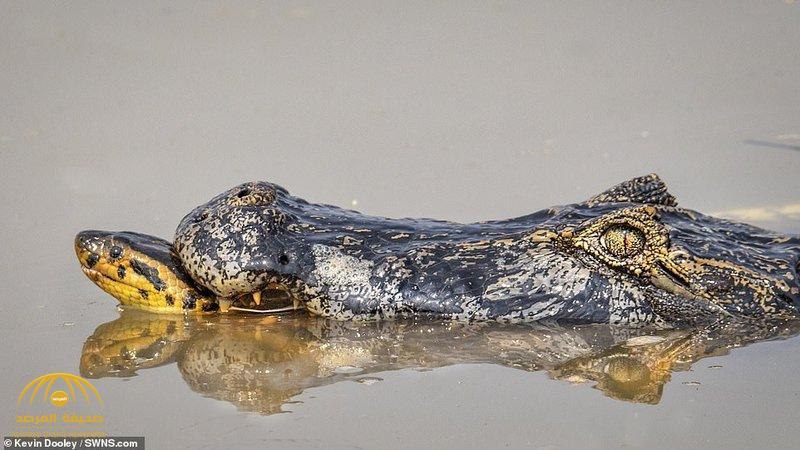 """شاهد : معركة شرسة بين """"أناكوندا ضخمة """" وتمساح في مستنقع غابات الأمازون تنتهي بمقتل أحدهما !"""