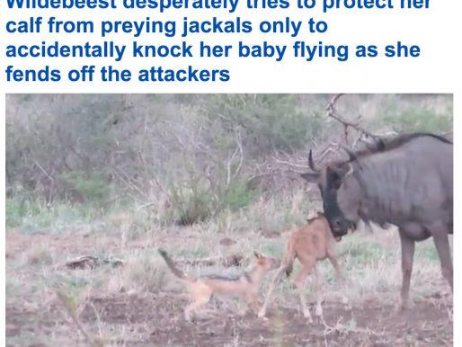 """شاهد.. """"خطأ قاتل"""" لـ """"جاموس"""" وحشي أثناء دفاعه عن صغيره من هجمات """"ابن آوى"""" في جنوب أفريقيا"""