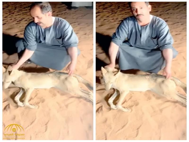 بهذه الطريقة.. مواطن يقتل ذئبًا هاجمه في رحلة برية على طريق تبوك- ضبا! فيديو