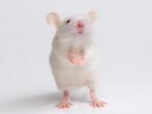 """أصاب العالم بذهول .. تكوين جنين """"فأر"""" دون حيوانات منوية أو بويضات !"""