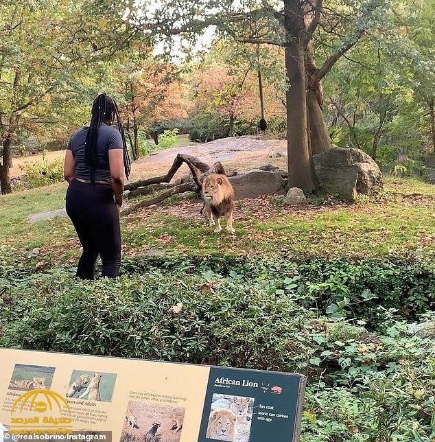 """شاهد.. امرأة """" سمراء """" تتحدى أسد إفريقي داخل حديقة حيوان بنيويورك وترقص أمامه"""