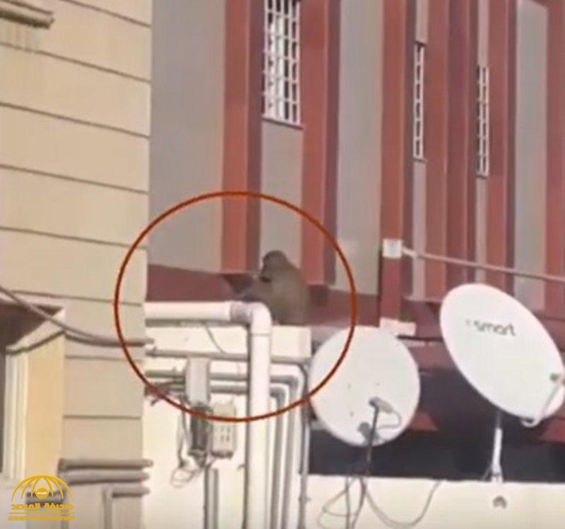 """بالفيديو …"""" قرد حي الشوقية""""  بمكة  يظهر مجددا  ويثير الذعر بين السكان  بعد فشل محاولات التخلص منه !"""