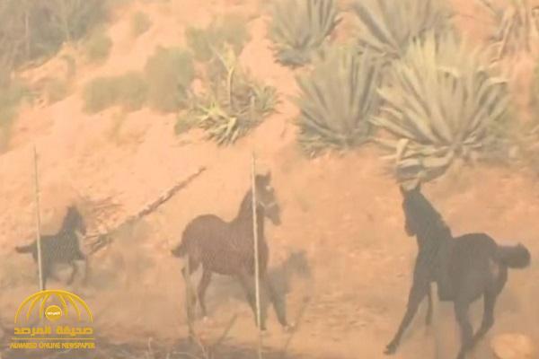 شاهد: حصان يعرض نفسه للخطر لإنقاذ رفيقيه وسط حرائق كاليفورنيا