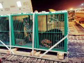 """بالصور.. وصول شحنة من """"النمور"""" إلى أرض المملكة للمشاركة في موسم الرياض!"""