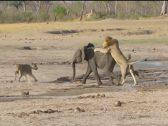 شاهد: أسد يفترس فيل صغير بعدما نصب له كمينا بمساعدة لبؤة