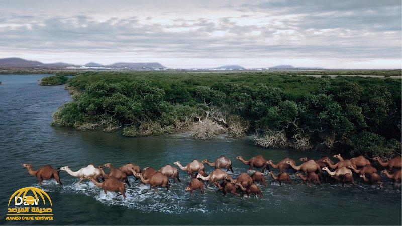 شاهد … مقطع إحترافي يوثق مشهد ساحر لمجموعة من الإبل تغوص في سواحل عسير بحثا عن الطعام