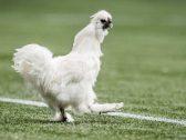 """تصرفه وصف  بـ""""الفعل الإجرامي"""" .. مقاضاة لاعب كرة قدم  بسبب """"دجاجة""""-فيديو"""