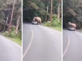 شاهد …  لحظات تحبس الأنفاس …فيل ضخم يعترض طريق سائق في تايلاند ويقرر الاستراحة  فوق سيارته !