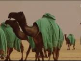 """بالفيديو : من أين جاء اسم """"الإبل المجاهيم""""؟.. ومعلومات عن أصواتها!"""