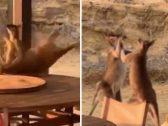 """شاهد: معركة حامية بين """"كنغرين"""" أحدهما خنق الآخر على طاولة"""