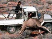 """بالصور: أستراليا تعدم خمسة آلاف جمل """"قنصا بالرصاص"""""""