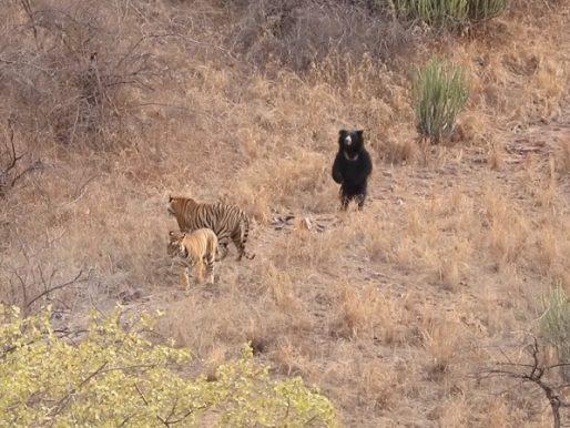 شاهد: دب شجاع يدافع عن نفسه واقفاً على أرجله الخلفيتين أمام نمر اقترب منه  – فيديو