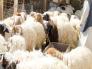 مربو الماشية يكشفون حقيقة تأثر الأسعار بعد توجيه الدعم !