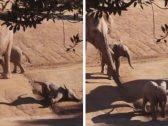 فيلة ضخمة ترفس صديق طفلها .. شاهد: ردة فعل أم الأخير عندما رأته يتدحرج أمام عينها!