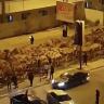 شاهد: إجلاء ثلاثة آلاف جمل مستوردة من أستراليا  من  وسط  العاصمة الليبية طرابلس