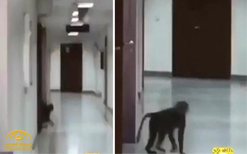 شاهد .. قرد يتجول في قسم الطالبات بجامعة الباحة!