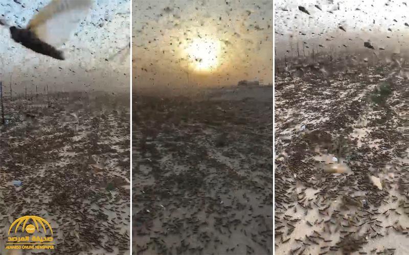 """شاهد .. فيديو لأعداد مهولة من """"الجراد"""" على طريق الرياض الدمام .. والمصور : """" يا ناس الشمس ما تنشاف"""""""