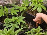 """المغرب يدرس تخفيف القيود على نبتة """"القنب"""" بعد توصيات أممية!"""