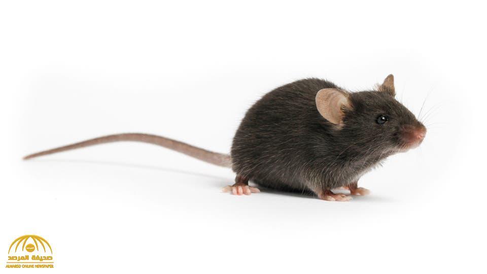 إلى أين وصلت جهود إيجاد لقاح فيروس كورونا.. وما علاقتها بهذا الفأر !